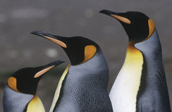 UK South Georgia Island three King Penguins close up Stock Images