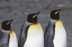 UK South Georgia Island three King Penguins standing side by side close up Stock Photo