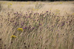 UK summer field with Knapweed and Ragwort. UK summer field with long brown grass, purple Knapweed and yellow Ragwort. This is a very typical scene in the UK and Royalty Free Stock Photos