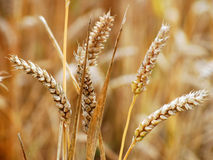UK wheat crop Royalty Free Stock Photo