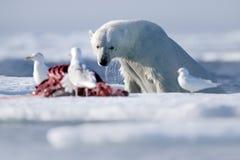 Ukazywać się niebezpiecznego niedźwiedzia polarnego w lodzie z foki ścierwem Zdjęcie Stock