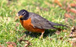 ukendt ptaka obraz stock