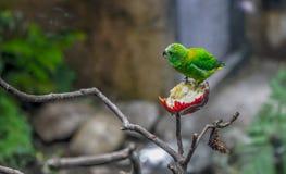 Uknown green Bird, Zoo Series, nature, animal. Uknown green Bird eating an apple Stock Photo