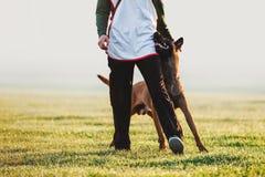 Ukochanego psa trakenu Belgijski pasterski pies chodzi obok mężczyzna i spojrzeń w oczach Zdjęcia Royalty Free