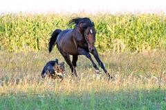 Ukraińscy końscy trakenów konie Zdjęcia Royalty Free