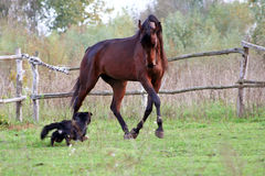 Ukraińscy końscy trakenów konie Obrazy Royalty Free