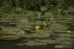 Ukraina flory Jezioro Kwiaty obrazy stock