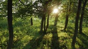 ukraine för trees för sun för carpathians lampa skinande trä lager videofilmer