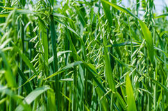 UKRAINE, JUNE, 2017: Green wheat, texture and background. UKRAINE, JUNE, 2017: Large - immature wheat ears. Texture and background Royalty Free Stock Images