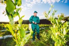 Ukraine, Kiev region June 2, 2017: Agricultural worker in green uniform spraying pesticides on blueberry fields stock photo