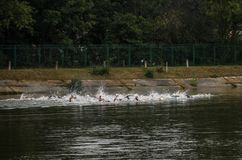 UKRAINE, LVIV - SEPTEMBER 2018: Athletes swimmers swim along the lake in wetsuits during the triathlon competition. Athletes swimmers swim along the lake in Royalty Free Stock Photo