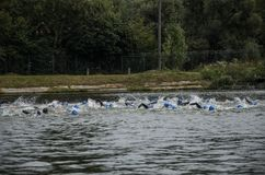 UKRAINE, LVIV - SEPTEMBER 2018: Athletes swimmers swim along the lake in wetsuits during the triathlon competition. Athletes swimmers swim along the lake in Royalty Free Stock Photos