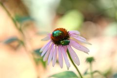 Ukraine, Odessa. Flower Echinacea with May bugs on the inflorescence. Flower Echinacea with May bugs on the inflorescence. Two green beetles on a flower royalty free stock images