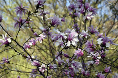 Ukraine, rosa Magnolienblüten Stockfoto