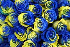 Ukraine rose flowers. Blue and yellow flowers of roses in the colors of the flag of Ukraine as floral background or pattern, photo with shallow depth of field Stock Photos