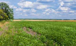 Ukrainian agricultural landscape - field with soybean Royalty Free Stock Photo