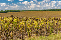 Ukrainian agricultural landscape with ripe sunflower field Royalty Free Stock Photos