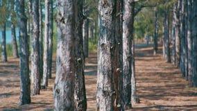 Birch trees forest on a summer day. Ukrainian birch trees forest on a summer day stock video