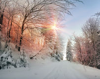 Ukrainian Carpathians snowy forest Royalty Free Stock Photography