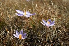 Ukrainian Crimean flowers. Hiking in Ukrainian Crimean Mountains stock photo