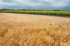 Ukrainian field of rye Royalty Free Stock Image