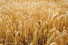 Ukrainian field of rye Stock Images