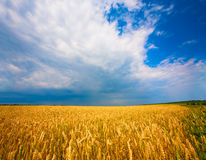 Ukrainian field of wheat on the blue sky Royalty Free Stock Photos