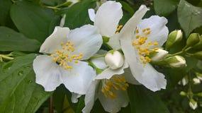 Sammer white jasmine flowers. Ukrainian garden of nice jasmine flowers make your mood. Goog day it is aromat jasmine flowers Royalty Free Stock Photos