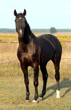 Ukrainian horse breed Royalty Free Stock Image