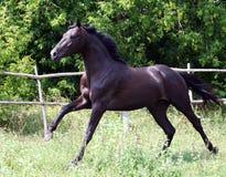 Ukrainian horse breed Royalty Free Stock Image