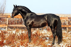 Ukrainian horse breed Stock Photo