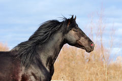 Ukrainian horse breed Royalty Free Stock Photos