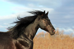 Ukrainian horse breed Stock Photos