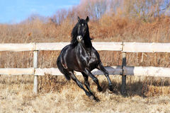 Ukrainian horse breed Royalty Free Stock Photo