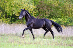 Ukrainian horse breed horses Royalty Free Stock Photography