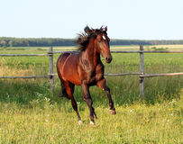 Ukrainian horse breed horses. Young purebred stallion, thoroughbred horse, beautiful horse, stallion in the paddock, stallion in the pasture, bloodstock, horse Royalty Free Stock Photo