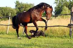 Ukrainian horse breed horses Stock Photos