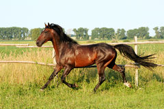 Ukrainian horse breed horses. Young purebred stallion, thoroughbred horse, beautiful horse, stallion in the paddock, stallion in the pasture, bloodstock, horse Stock Photography