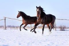 Ukrainian horse breed horses. Young purebred, thoroughbred horse, beautiful horses, bloodstock, graceful animal, noble animal, ungulate, herbivore, bay horses royalty free stock photos
