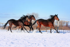 Ukrainian horse breed horses Royalty Free Stock Images
