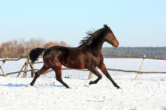 Ukrainian horse breed horses. Young purebred, thoroughbred horse, beautiful horse, bloodstock, graceful animal, noble animal, ungulate, herbivore, bay horse Stock Image