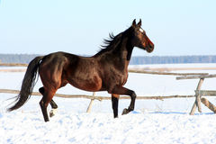 Ukrainian horse breed horses. Young purebred, thoroughbred horse, beautiful horse, bloodstock, graceful animal, noble animal, ungulate, herbivore, bay horse Stock Photos