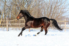 Ukrainian horse breed horses. Young purebred, thoroughbred horse, beautiful horse, bloodstock, graceful animal, noble animal, ungulate, herbivore, bay horse Royalty Free Stock Image