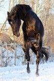Ukrainian horse breed horses. Young purebred, thoroughbred horse, beautiful horse, bloodstock, graceful animal, noble animal, ungulate, herbivore, black Stock Photos