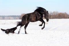Ukrainian horse breed horses Royalty Free Stock Image