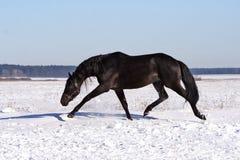 Ukrainian horse breed horses. Young purebred, thoroughbred horse, beautiful horse, bloodstock, graceful animal, noble animal, ungulate, herbivore, black Stock Images