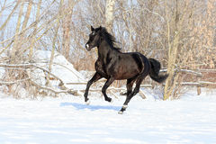 Ukrainian horse breed horses Royalty Free Stock Photo