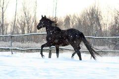 Ukrainian horse breed horses. Young purebred, thoroughbred horse, beautiful horse, bloodstock, graceful animal, noble animal, ungulate, herbivore, black Royalty Free Stock Images