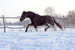 Ukrainian horse breed horses Stock Photo