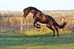 Ukrainian horse breed horses Royalty Free Stock Photos